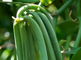 variete vanilla tahitensis